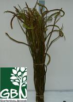 Salix Drachenweide
