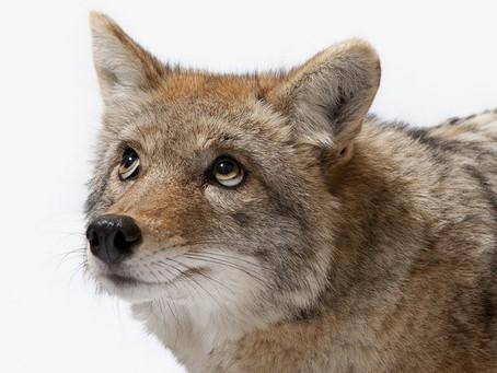 Coyotes: More Than Wile E.