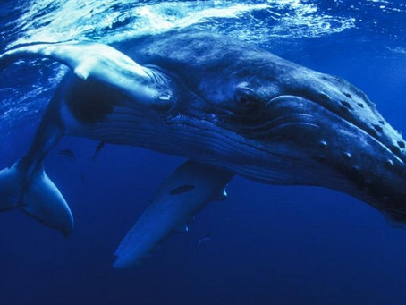 Whales: Wonderful. Stunning. More Human Than You May Think.