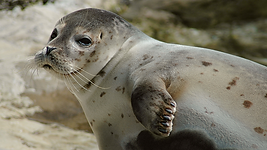 machinedesign_7242_harbor_seal_0.png