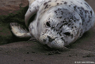 pic_harbor_seal_pup_svdw_480x320.jpg
