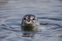 harbour-seal-pup.jpg