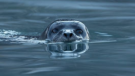 harbor_seal_phoca_vitulina_at_magdalen_f