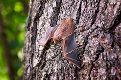 Bats of North Texas