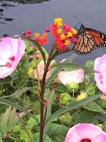 Water Hibiscus and Tropical Milkweed