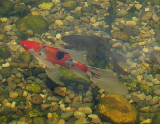 pond goldfish indianapolis