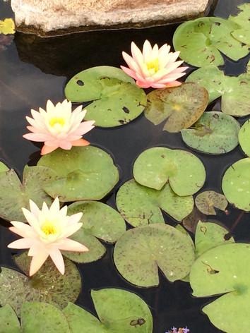 Hardy Water Lilies