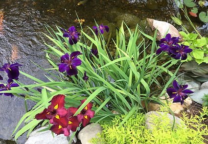 pond plants fight green water