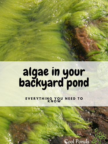 algae in your backyard pond.png