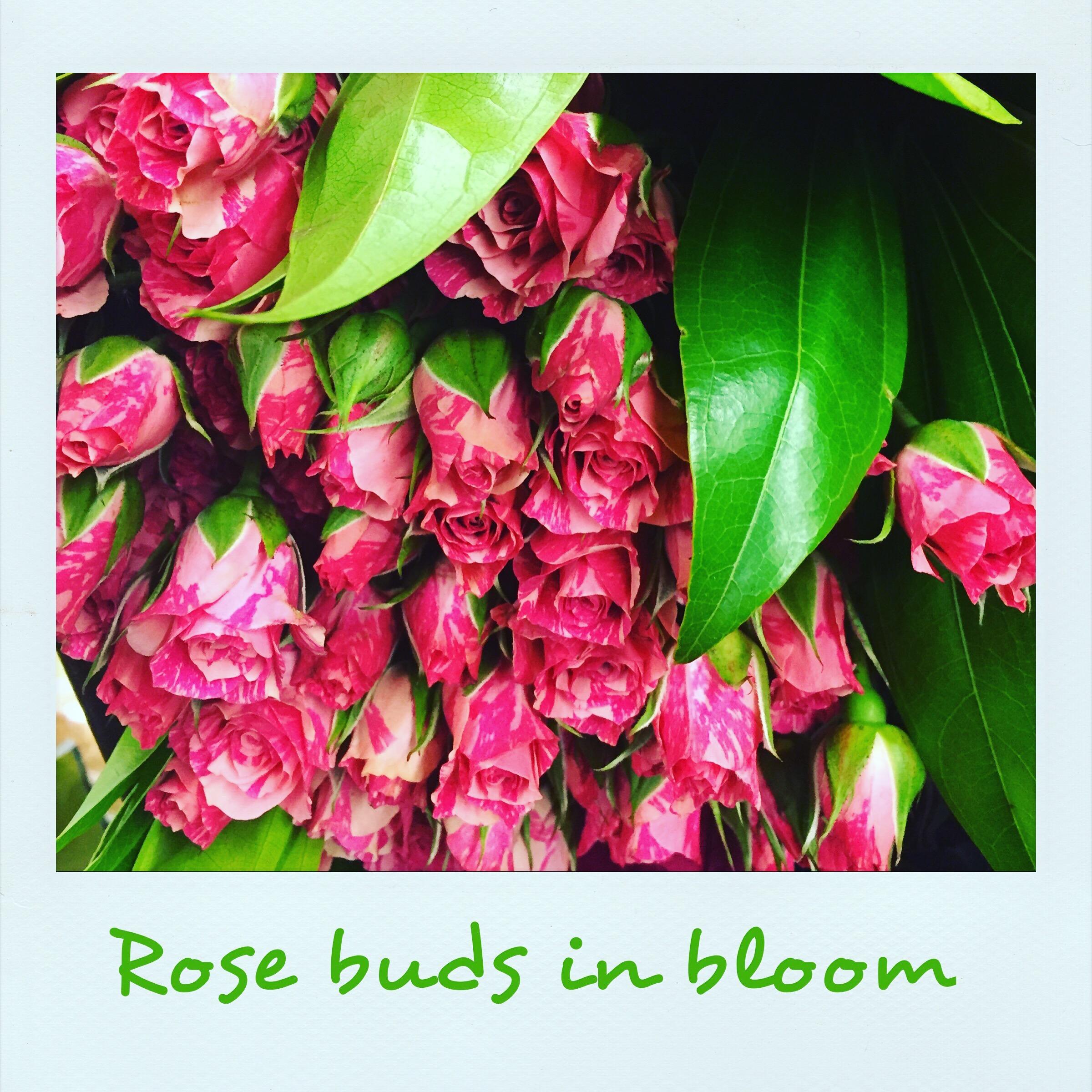 Rosebuds in bloom
