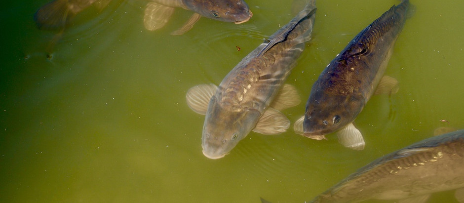 Condition Your Pond for Healthy Fish