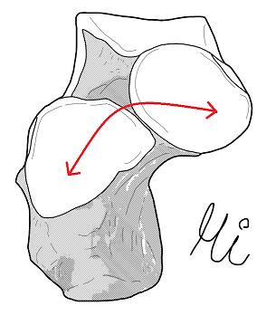 ショパール関節(距骨・踵骨の関節面)