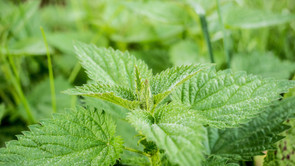 Guest Post: Could stinging nettles really be a new superfood?