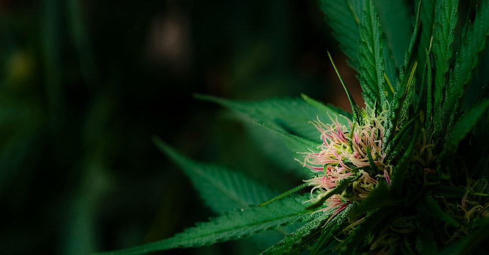 massachusetts-cannabis-information.jpg