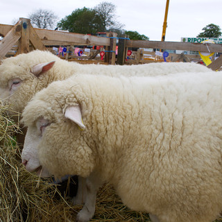 Otley Show 2016 - Sheep
