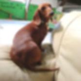 dværggravhund