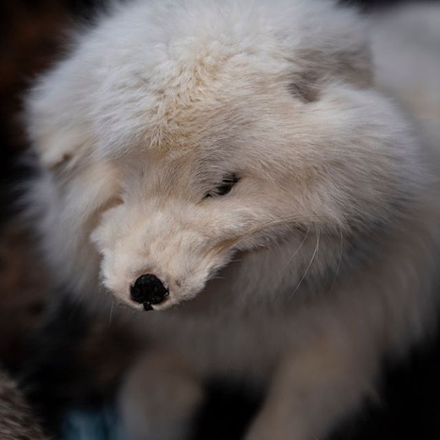 Fluffy lil Arctic #Fox .... not listed o