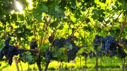 grapes-banner