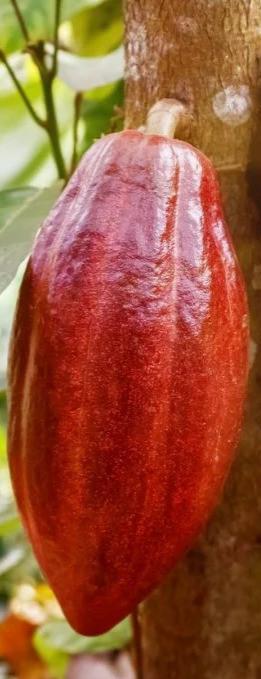 Frutos-maduros-de-cacau-1024x683-1_edite