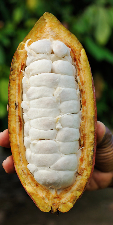 cacao aberto.jpg