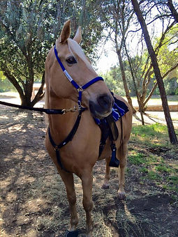 I.C.E. Trail Halter royal blue