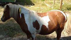 Mini horse ManeStay emergency ID