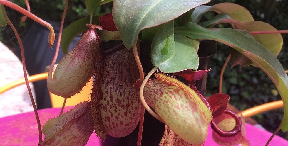 Nepenthes - monkey jar/pitcher plant