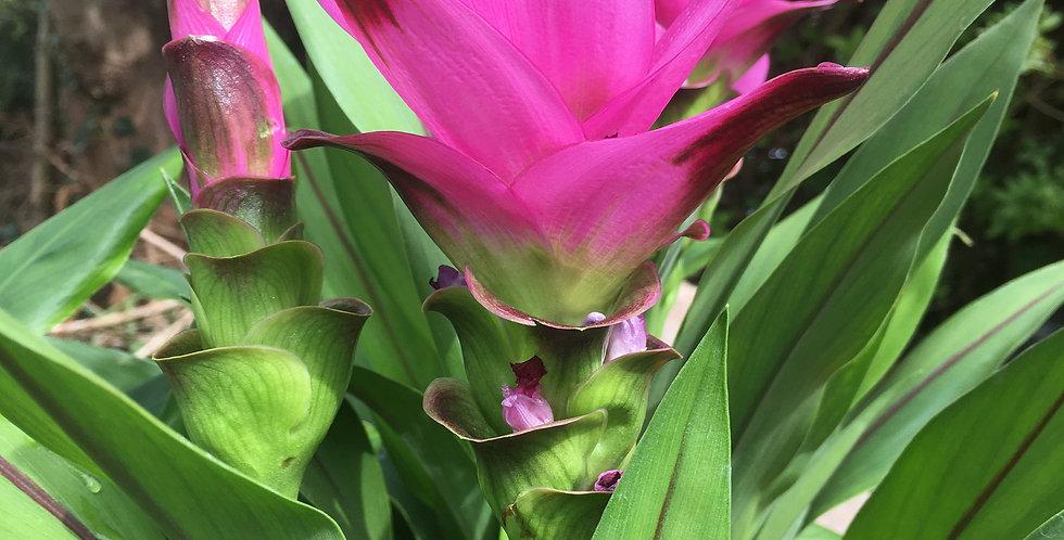 Curcuma 'Siam tulip'