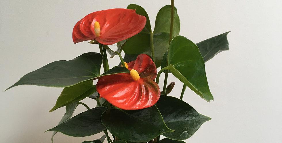 Anthurium 'Orange Champion'