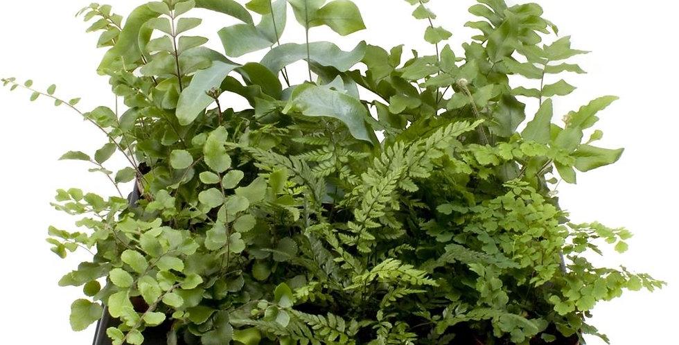 Winter Hardy ferns