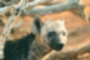 Vahşi Köpek Bakımı