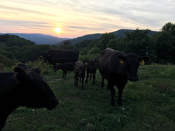 Cattle 1