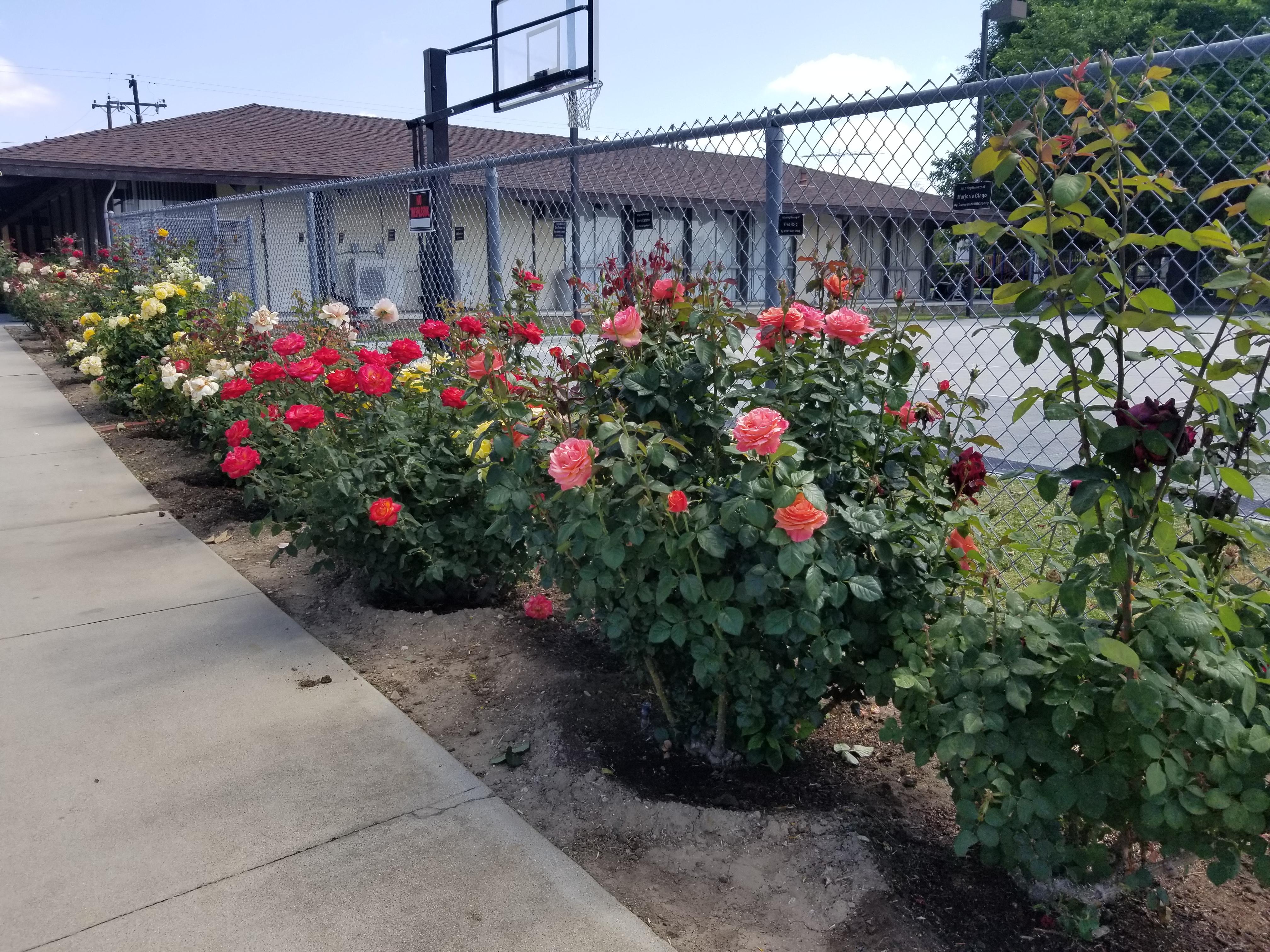 Memorial Rose Garden 2020