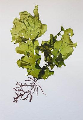 Pressing lettice.jpg