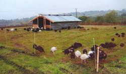 Free Range Turkeys 2