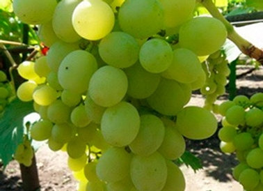 Виноград Ванюша (белый)