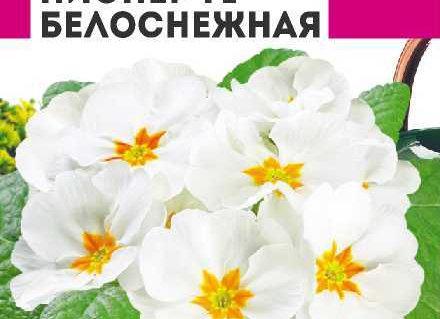 Примула Пионер Белоснежная/Сем Алт