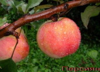 Крупноплодная яблоня Персиянка