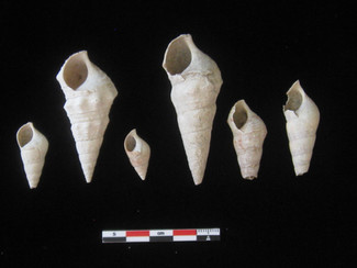 Did these shells contain food eaten by the inhabitants of Ucanal?