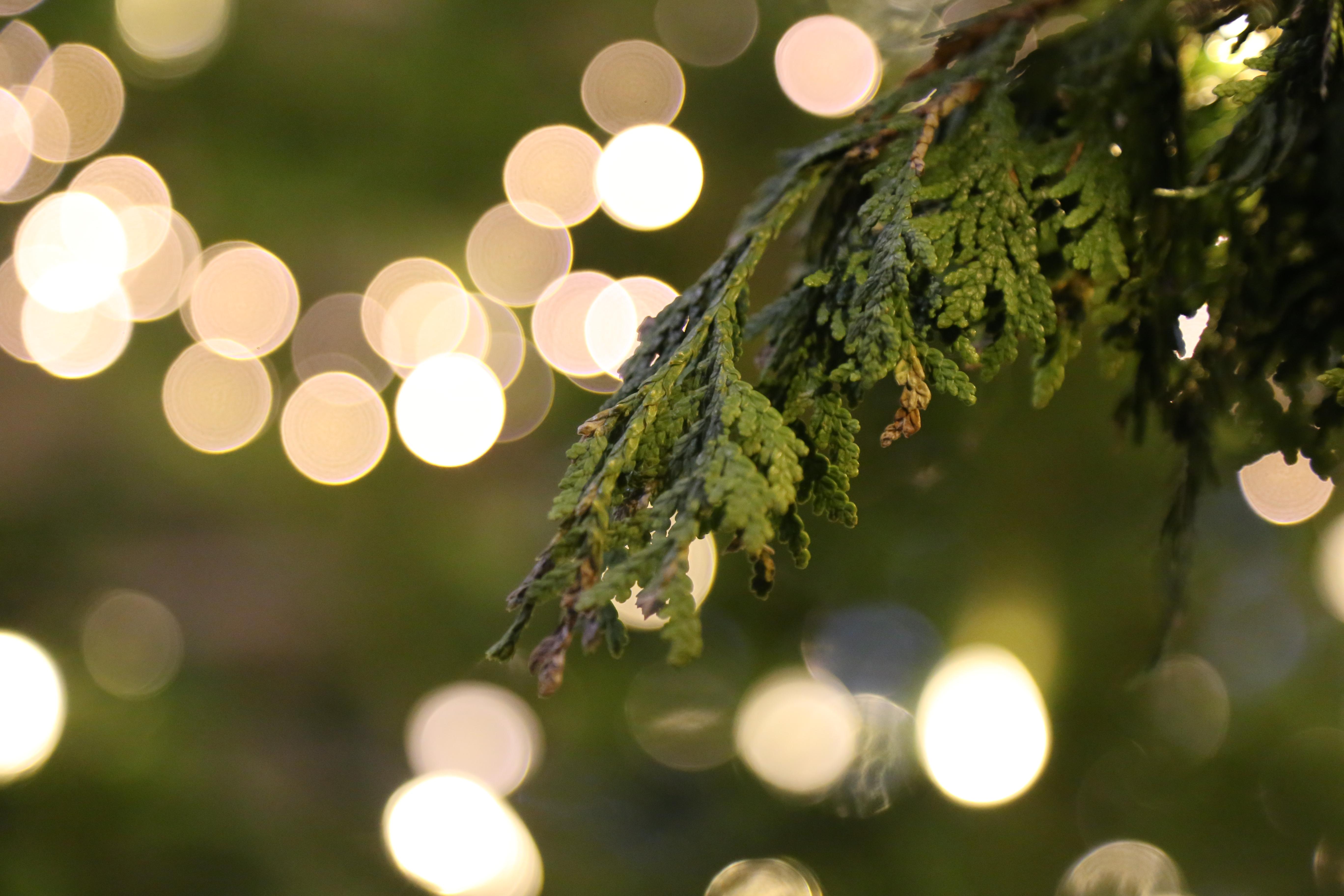 Cedar Lights