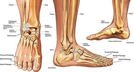 Fot_ankel anatomi.png