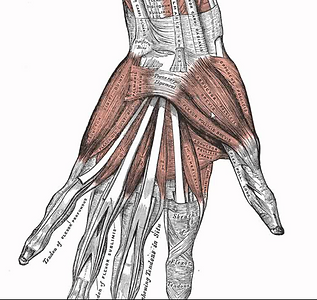 Hånd_anatomi.png