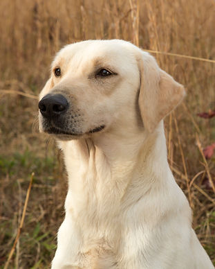 Mossy Oak Yellow British Lab