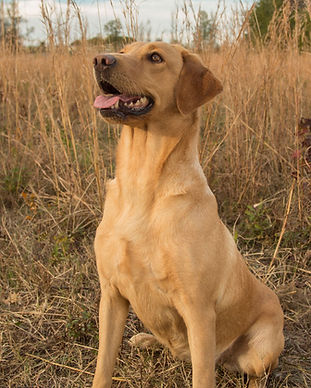 Red British Lab
