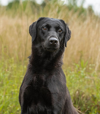 Mossy Oak Black Lab