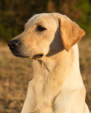 Yellow Female British Lab