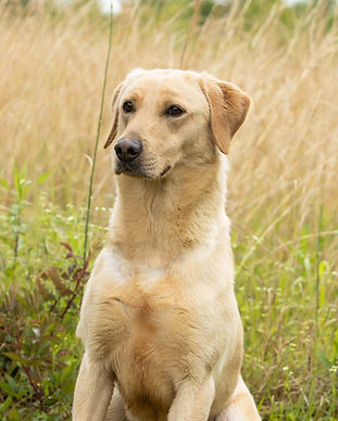 Yellow British Lab