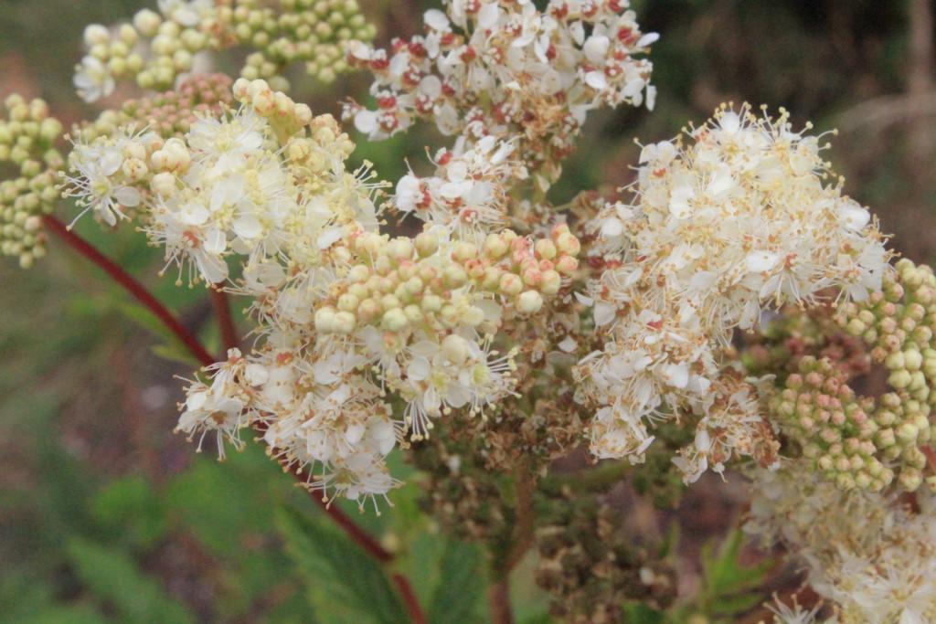 Mädesüssblüten 003.jpg