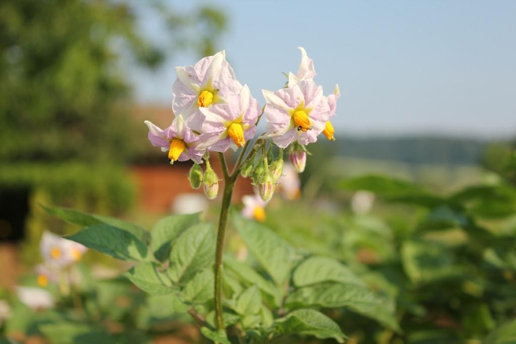 Kartoffelblüte.jpg