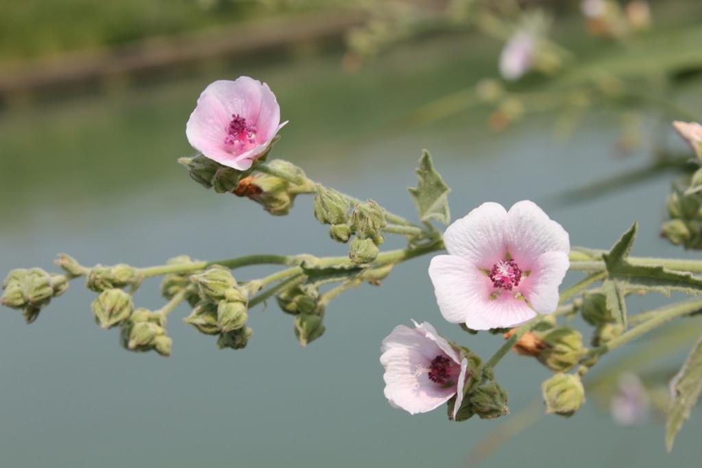 Stockrosenblüte.jpg